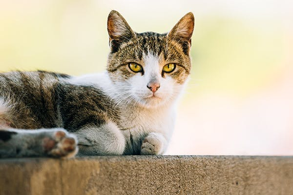 Mitral Valve Dysplasia in Cats