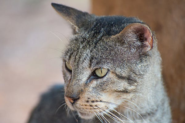 Monorchidism in Cats - Symptoms, Causes, Diagnosis, Treatment, Recovery, Management, Cost