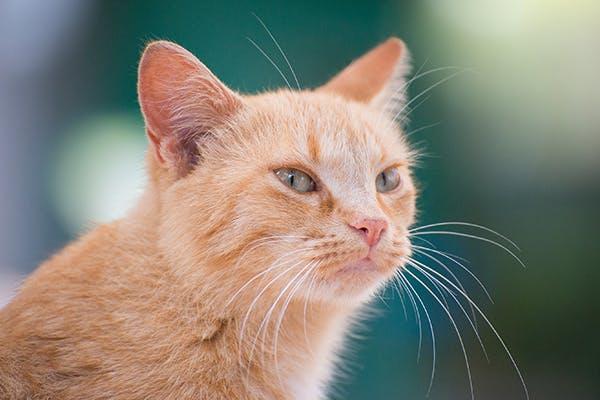 Mucopolysaccharidoses in Cats
