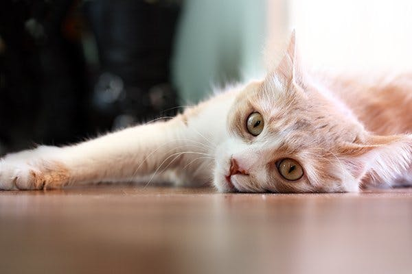Muscle Contraction Disease in Cats - Symptoms, Causes, Diagnosis, Treatment, Recovery, Management, Cost