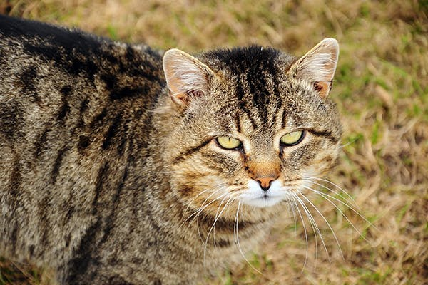 Muscle Tear in Cats - Symptoms, Causes, Diagnosis, Treatment, Recovery, Management, Cost