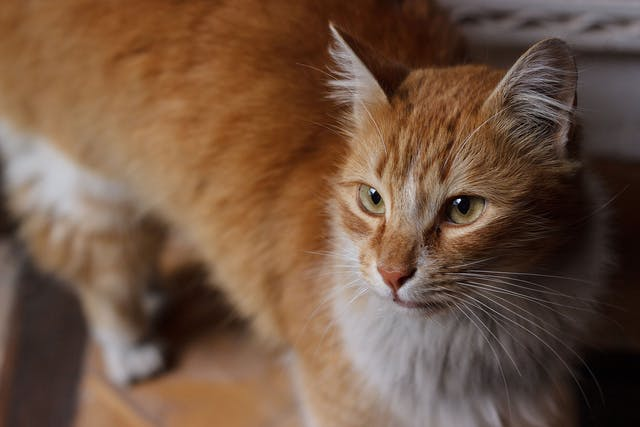 Mycoplasma Infection in Cats - Symptoms, Causes, Diagnosis, Treatment, Recovery, Management, Cost