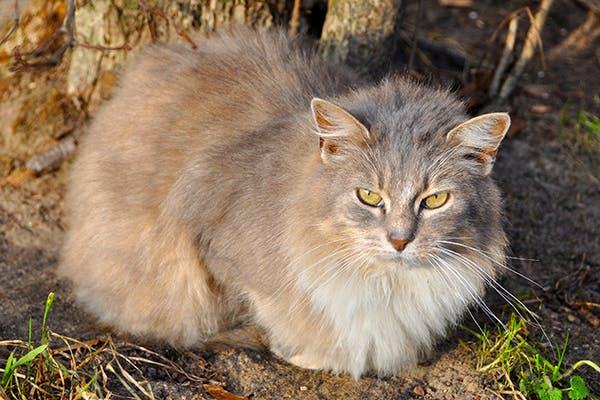 Myelin Deficiency in Cats