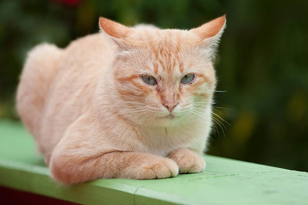 Myeloproliferative Disorders in Cats - Symptoms, Causes, Diagnosis, Treatment, Recovery, Management, Cost