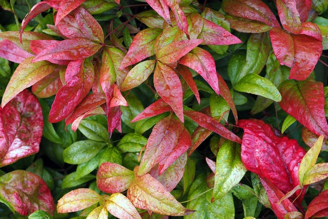 Nandina Poisoning in Cats - Symptoms, Causes, Diagnosis, Treatment, Recovery, Management, Cost