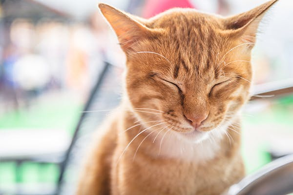 Narcolepsy and Cataplexy in Cats - Symptoms, Causes, Diagnosis, Treatment, Recovery, Management, Cost