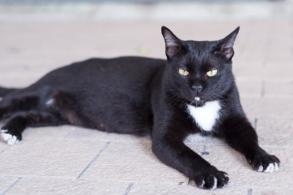 Narrowing of the Anus in Cats - Symptoms, Causes, Diagnosis, Treatment, Recovery, Management, Cost
