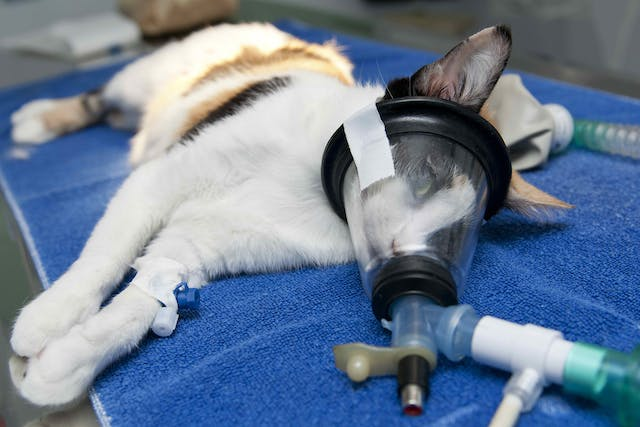 Nasal Catheter in Cats - Conditions Treated, Procedure, Efficacy, Recovery, Cost, Considerations, Prevention