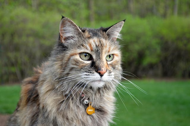 Neomycin Allergy in Cats - Symptoms, Causes, Diagnosis, Treatment, Recovery, Management, Cost