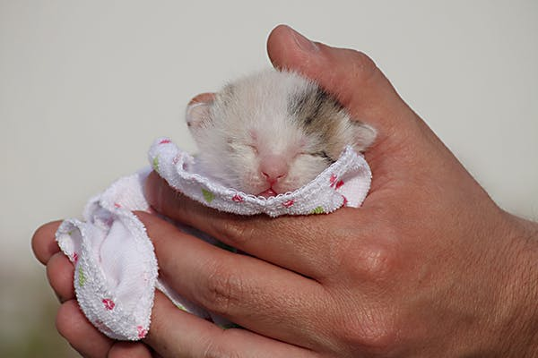Neonatal Isoerythrolysis in Cats - Symptoms, Causes, Diagnosis, Treatment, Recovery, Management, Cost