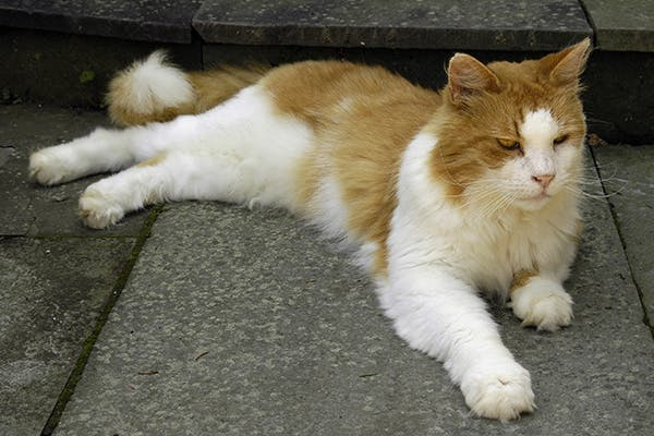 Nerve Disorder in Cats - Symptoms, Causes, Diagnosis, Treatment, Recovery, Management, Cost