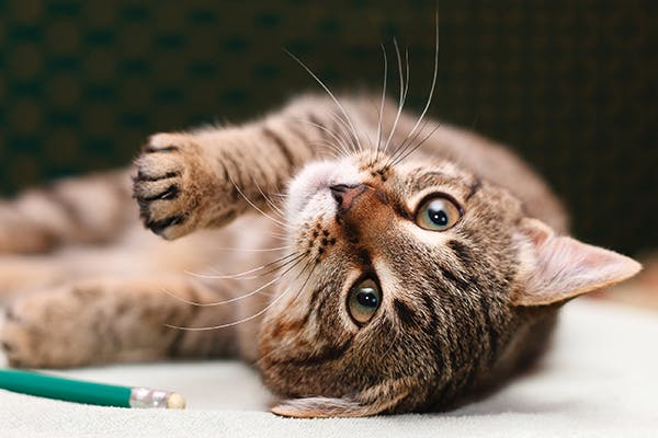 Neuromuscular Disorders in Cats - Symptoms, Causes, Diagnosis, Treatment, Recovery, Management, Cost