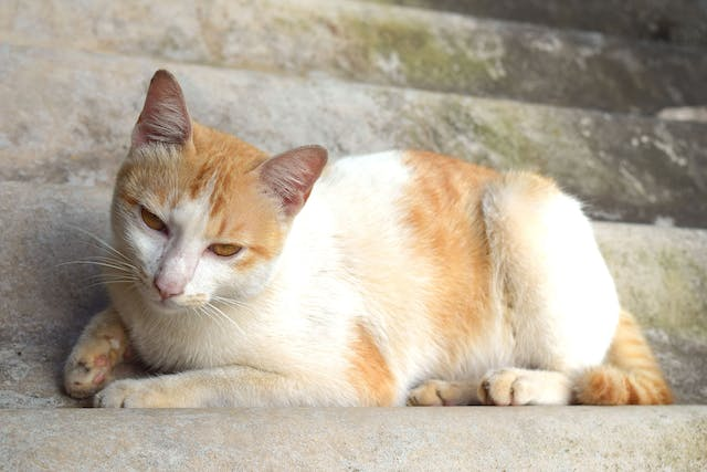 Nocardiosis Infection in Cats - Symptoms, Causes, Diagnosis, Treatment, Recovery, Management, Cost