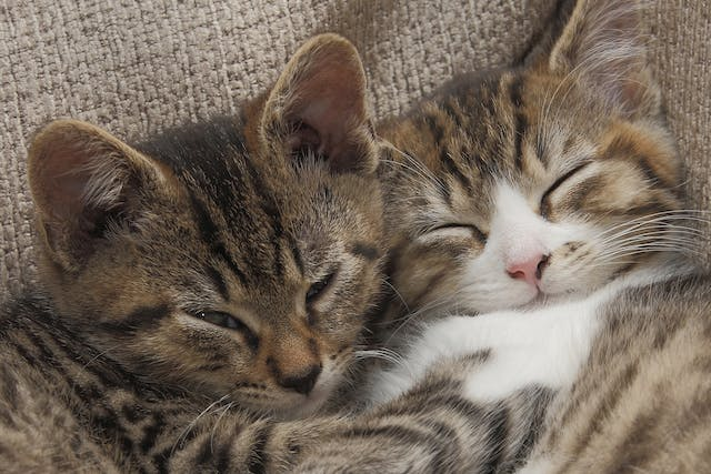 Nonsteroidal Anti-Inflammatory Drug Toxicity in Cats - Symptoms, Causes, Diagnosis, Treatment, Recovery, Management, Cost