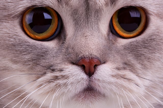 Nonulcerative Keratitis in Cats - Symptoms, Causes, Diagnosis, Treatment, Recovery, Management, Cost