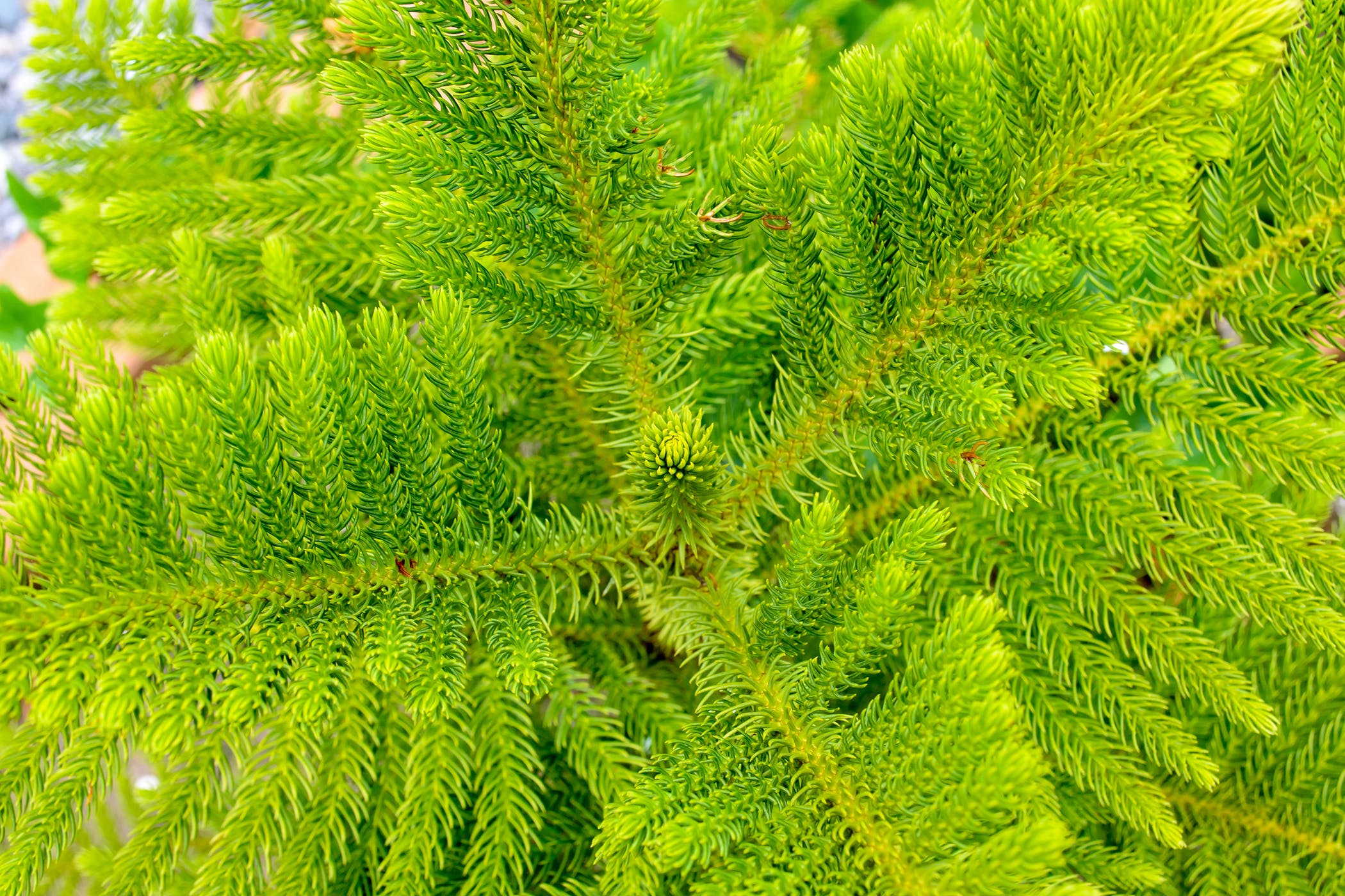 Norfolk Island Pine Poisoning in Cats - Symptoms, Causes ... on