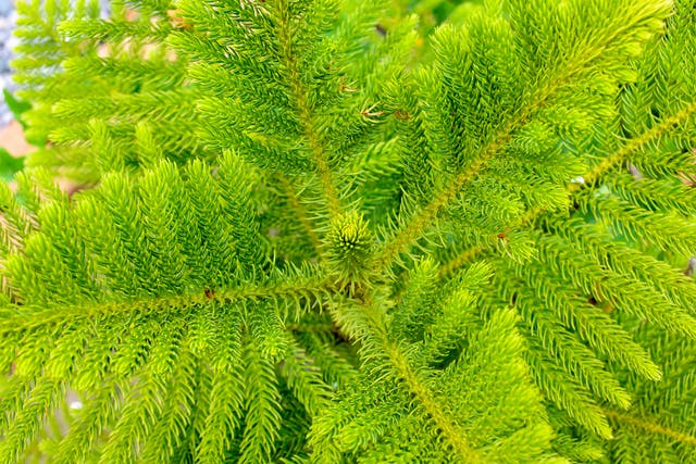 Norfolk Island Pine Poisoning in Cats - Symptoms, Causes, Diagnosis, Treatment, Recovery, Management, Cost