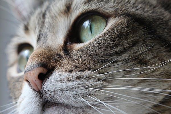 Facial cancer in cats pics 540