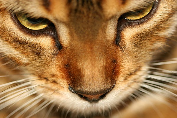Nose and Sinus Inflammation in Cats - Symptoms, Causes, Diagnosis, Treatment, Recovery, Management, Cost