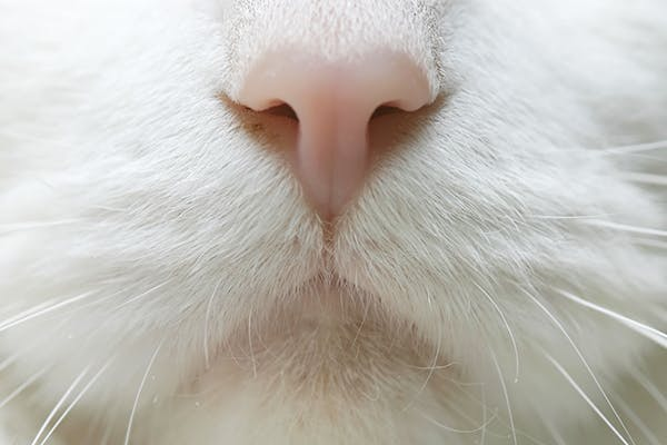 Nose Bleed in Cats - Symptoms, Causes, Diagnosis, Treatment, Recovery, Management, Cost