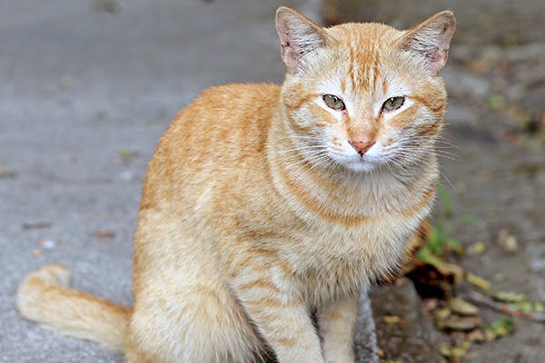 notoedric mange in cats symptoms causes diagnosis treatment