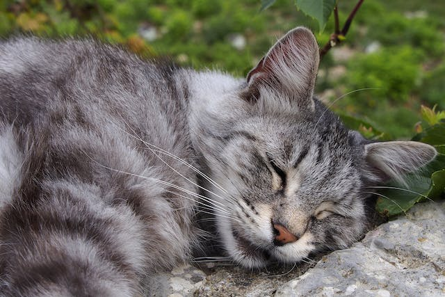 Omentalization in Cats - Conditions Treated, Procedure, Efficacy, Recovery, Cost, Considerations, Prevention