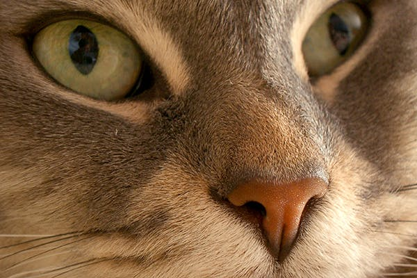 Optic Nerve Swelling in Cats - Symptoms, Causes, Diagnosis, Treatment, Recovery, Management, Cost