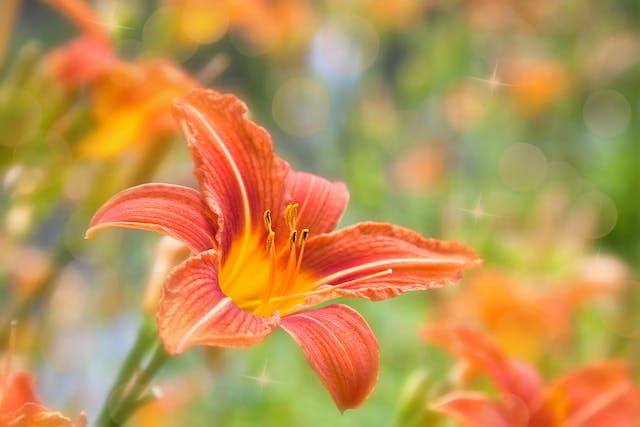 Orange Daylily Poisoning in Cats - Symptoms, Causes, Diagnosis, Treatment, Recovery, Management, Cost