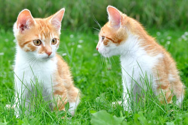 Oronasal Fistula in Cats - Symptoms, Causes, Diagnosis, Treatment, Recovery, Management, Cost