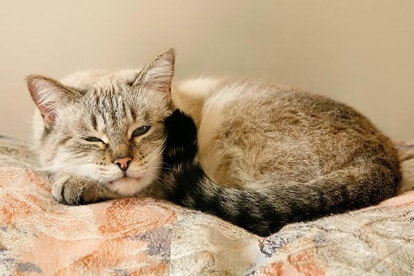 Severe Ear Infection In Cats