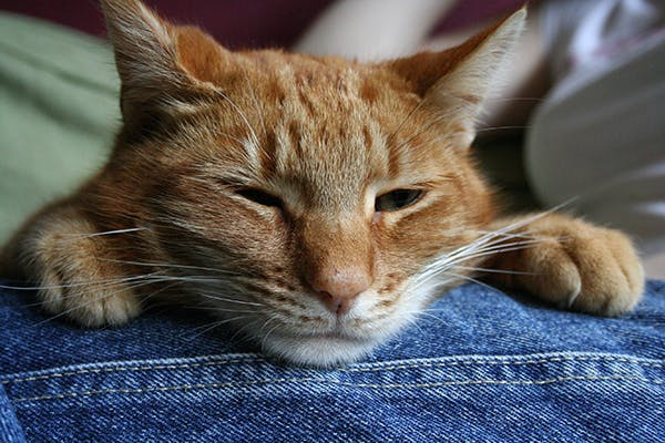 Out-of-Place Urethral Lining in Cats - Symptoms, Causes, Diagnosis, Treatment, Recovery, Management, Cost