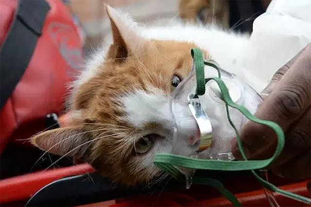 Oxygen Therapy for Cats - Conditions Treated, Procedure, Efficacy, Recovery, Cost, Considerations, Prevention