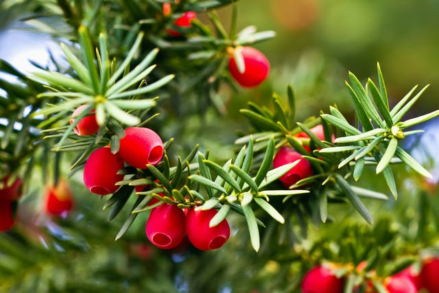 Pacific Yew Poisoning in Cats - Symptoms, Causes, Diagnosis, Treatment, Recovery, Management, Cost