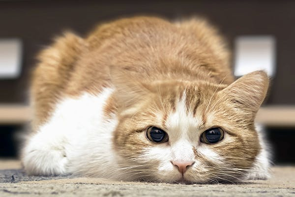 Pain in Cats - Symptoms, Causes, Diagnosis, Treatment, Recovery, Management, Cost