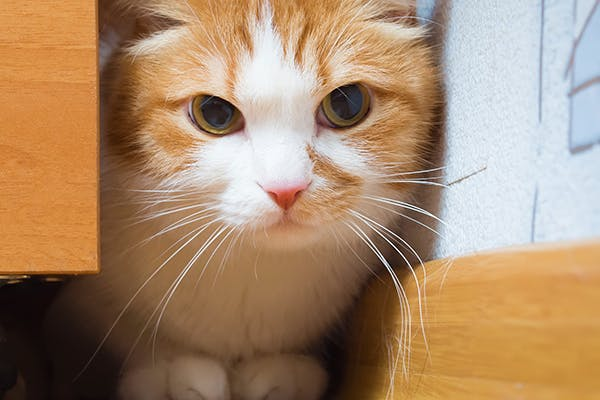 Painful Abdomen in Cats - Symptoms, Causes, Diagnosis, Treatment, Recovery, Management, Cost