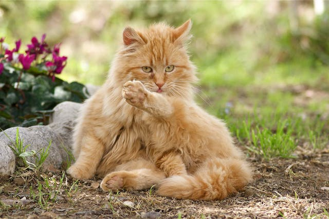 Painful Bladder Syndrome in Cats - Symptoms, Causes, Diagnosis, Treatment, Recovery, Management, Cost