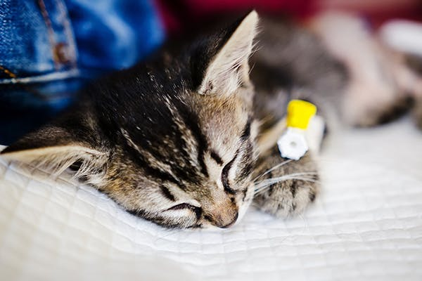 Pancreatic Cancer in Cats - Symptoms, Causes, Diagnosis, Treatment, Recovery, Management, Cost