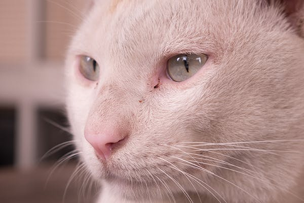 Paralysis of the Jaw in Cats - Symptoms, Causes, Diagnosis, Treatment, Recovery, Management, Cost
