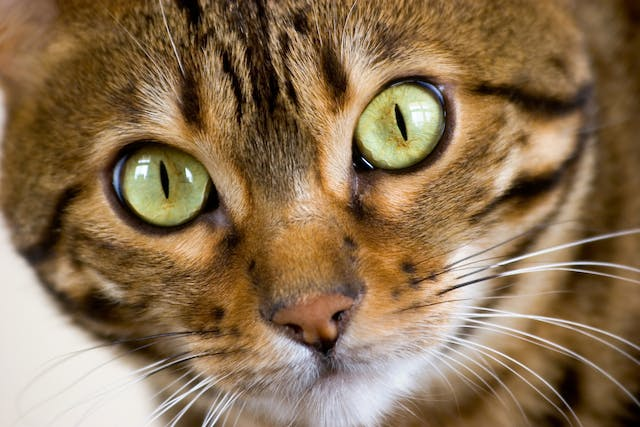 Paralysis of the Larynx in Cats - Symptoms, Causes, Diagnosis, Treatment, Recovery, Management, Cost