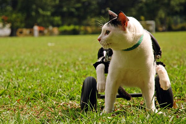 Paralysis in Cats - Signs, Causes, Diagnosis, Treatment, Recovery, Management, Cost