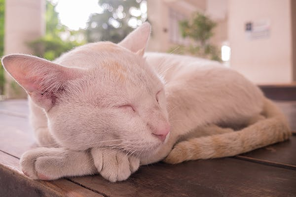Paraneoplastic Syndromes in Cats