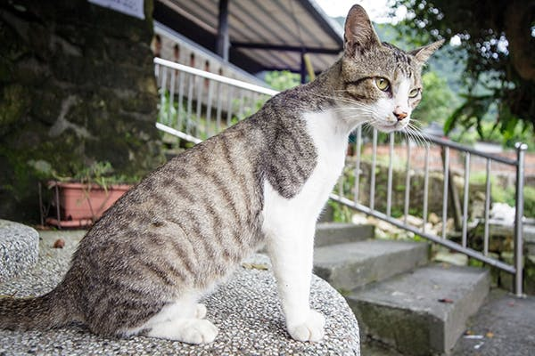 Parasitic Infection in Cats - Symptoms, Causes, Diagnosis, Treatment, Recovery, Management, Cost