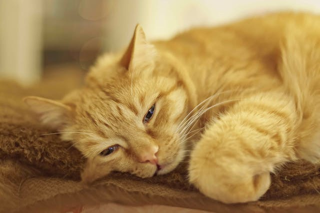 Partial Glossectomy in Cats - Conditions Treated, Procedure, Efficacy, Recovery, Cost, Considerations, Prevention
