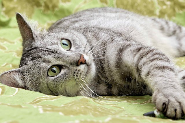 Partial Pinnectomy in Cats - Conditions Treated, Procedure, Efficacy, Recovery, Cost, Considerations, Prevention