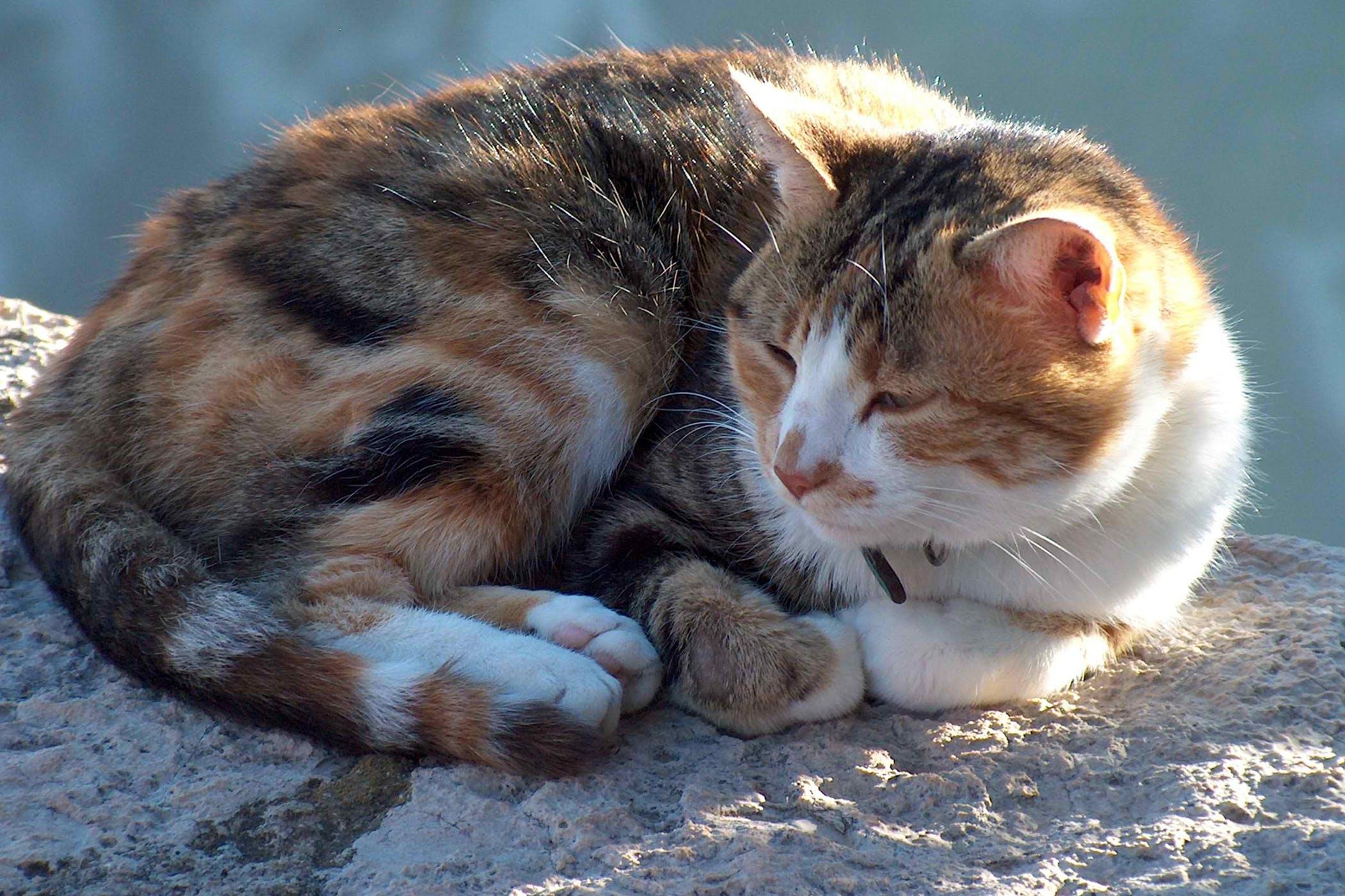 Patent Ductus Arteriosus in Cats