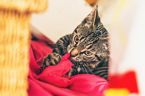 Pica in Cats - Symptoms, Causes, Diagnosis, Treatment, Recovery, Management, Cost