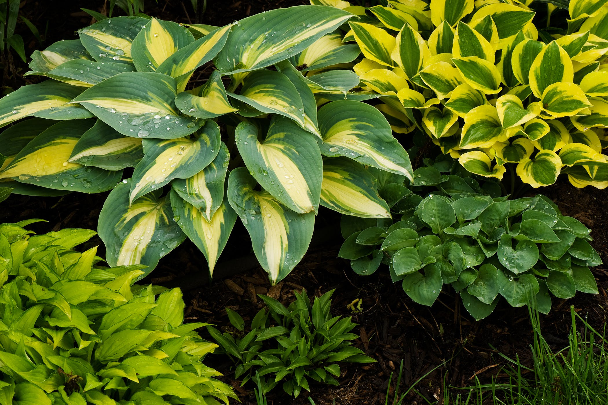 Plantain lily poisoning in cats symptoms causes diagnosis plantain lily poisoning in cats izmirmasajfo