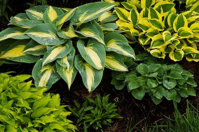 Plantain Lily Poisoning in Cats - Symptoms, Causes, Diagnosis, Treatment, Recovery, Management, Cost