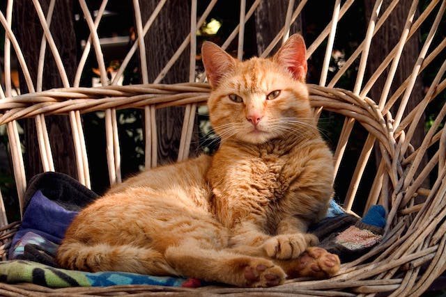 Plaque Allergy in Cats - Symptoms, Causes, Diagnosis, Treatment, Recovery, Management, Cost