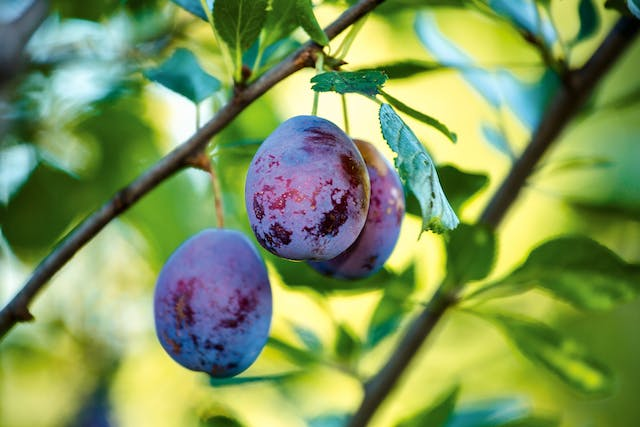Plum Poisoning in Cats - Symptoms, Causes, Diagnosis, Treatment, Recovery, Management, Cost